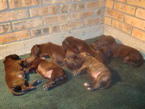 Great Dane Puppies In Louisiana