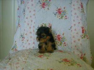 Yorkshire Terrier Puppies In Missouri