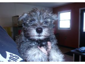 Miniature schnauzer for sale wv