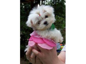Yorkie Puppies For Sale Houston Texas