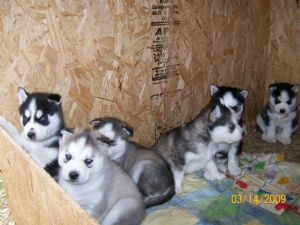 Siberian Husky Puppies in Oklahoma