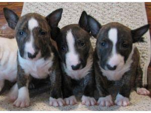 Miniature Bull Terrier Puppies In Oregon