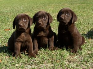 Chocolate Lab Puppies For Sale In Alabama