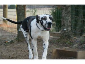 Great Dane Puppies in Mississippi