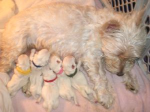 West Highland White Terrier Puppies in Mississippi