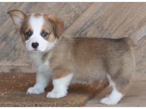Pembroke Welsh Corgi Puppies in Oklahoma