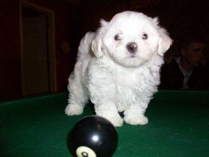 Maltese Puppies in South Carolina