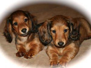 Miniature dachshund for sale michigan