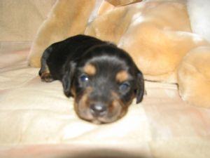 Dachshund Puppies In Pennsylvania