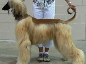 Afghan Hound Puppies in Texas