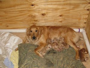Golden Retriever Puppies In West Virginia