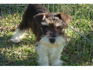 Miniature Schnauzer Puppies In Texas