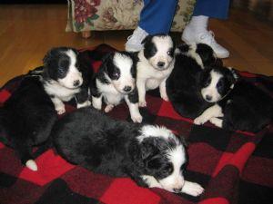 Border Collie Puppies In Kentucky
