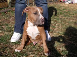 American Pit Bull Terrier Puppies in Nebraska