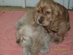 Cocker spaniel for sale in jackson ms — img 10