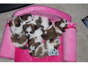 Shih Tzu Puppies In Kansas