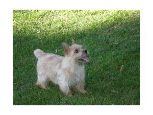 Norwich Terrier For Sale Nebraska