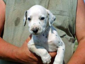 Dalmatian Puppies in Texas