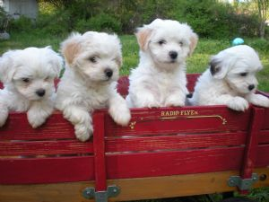 Havanese Puppies In Washington Dc