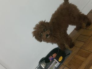 Toy Poodle Puppies In New Jersey