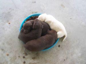 Labrador Retriever Puppies in Texas