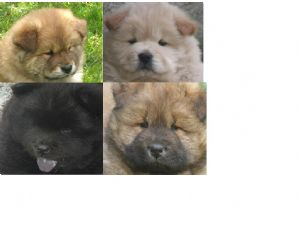 Chow Chow Puppies in Kentucky