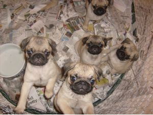 Pug Puppies in Florida