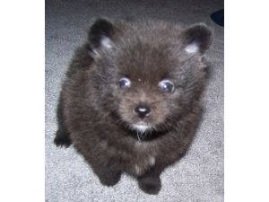 Pomeranian Puppies in Illinois