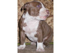 American Pit Bull Terrier Puppies in Minnesota