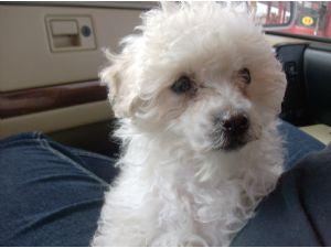 Miniature Poodle Puppies In Washington Dc