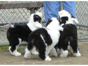 Old English Sheepdog Puppies in Washington