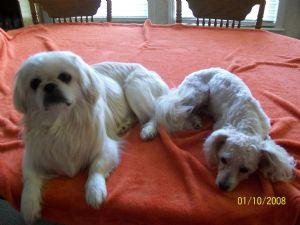 N.c. Pekingese Rescue Pekingese Puppies in N...