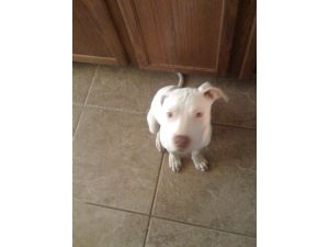 American Pit Bull Terrier Puppies in Texas