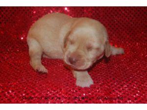 Labrador Retriever Puppies In Georgia