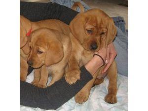 Labrador Retriever Puppies in North Carolina