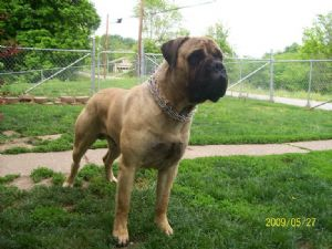 Bullmastiff Puppies In Ohio