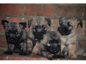 Cairn Terrier Puppies in Virginia