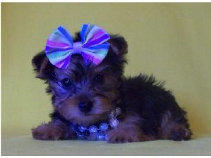 Yorkshire Terrier Puppies in Oklahoma