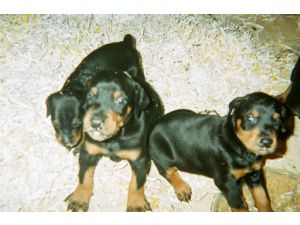 Doberman Pinscher Puppies in Wisconsin
