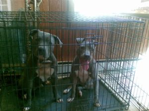 Bully Dogs For Sale In Greensboro Nc