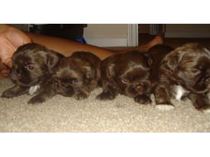 Shih Tzu Puppies In Georgia