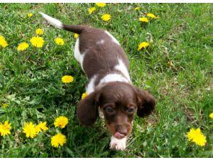 Dachshund Puppies In Minnesota