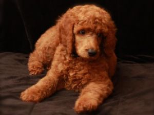 Standard Poodle Puppies In California