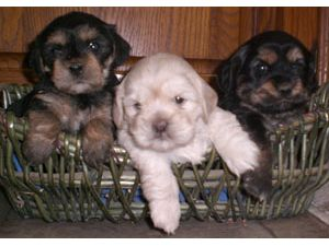 Lhasa Apso Puppies in Ohio