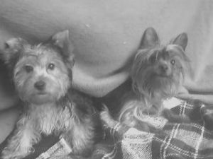 Yorkshire Terrier Puppies in Tennessee
