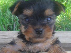 yorkshire terrier for sale mn yorkshire terrier puppies in minnesota 8911