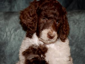 Standard Poodle Puppies in Missouri