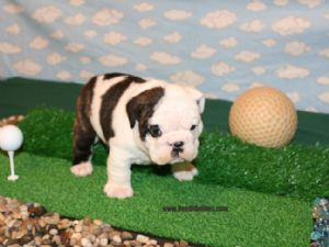 English Bulldog Puppies In Ohio