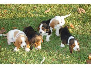 Basset Hound Puppies In Louisiana