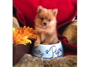 Pomeranian Puppies in New York